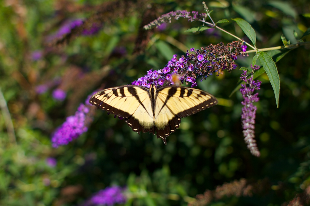 Late summer butterflyv